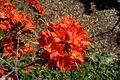 Rhododendron calendulaceum - Arnold Arboretum - DSC06666.JPG