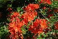 Rhododendron calendulaceum - Arnold Arboretum - DSC06668.JPG