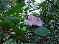 Rhododendron vernicosum.jpg
