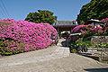 Rhododendrons Anyoin Kamakura.jpg