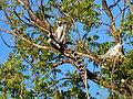 Ring-tailed Lemur Berenty Madagascar - panoramio (1).jpg