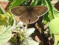 Ringlet butterfly (28311899555).jpg