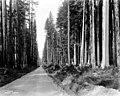 Road through the Olympic Peninsula, Washington, ca 1924 (WASTATE 681).jpg