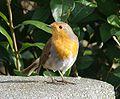 Robin 20090222.jpeg