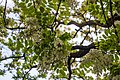 Robinia pseudoacacia blossom in Ubezhenskaya, Russia.jpg