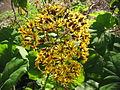 Roldana petasitis (Flower).jpg