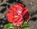 Rosa 'Modern Art'.jpg