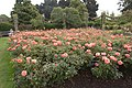 Rosa 'Song and Dance' IMG 4374.jpg