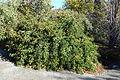 Rosa × odorata - Quarryhill Botanical Garden - DSC03239.JPG