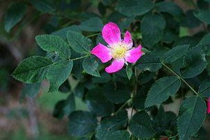 Rosa glauca 2.jpg