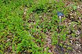 Rosa luciae (Rosa wichurana) - Hillier Gardens - Romsey, Hampshire, England - DSC05013.jpg