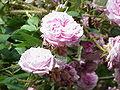 Rosa sp.178.jpg