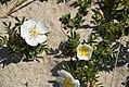 Rosa spinosissima inflorescence (47).jpg