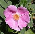 Rosa villosa inflorescence (03).jpg