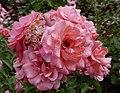 Rosarium Baden Rosa 'Botticelli' Meilland 2004.jpg