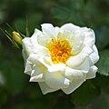 Rose, Anna Zinkeisen, バラ, アンナ ツィンカイゼン, (16806384403).jpg