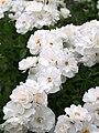Rose, Rosa polyantha blanc, バラ, ロサ ポリアンサ ブラン, (12870594725).jpg