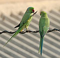 Rose-ringed Parakeets (Male & Female)- During foreplay at Hodal I Picture 0102.jpg