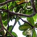 Rose-ringed parakeet (38155147001).jpg