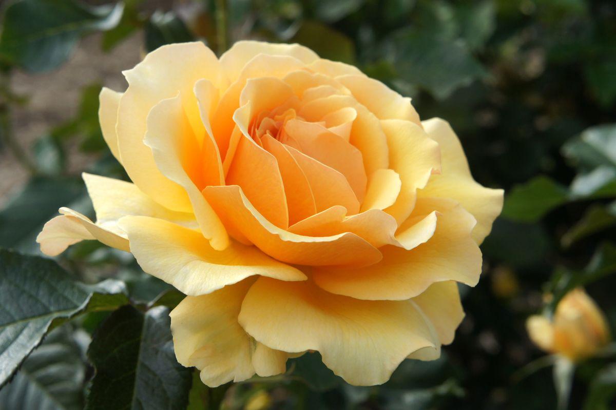 Amber Queen (Rose)