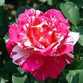 Rose Maurice Utrillo モーリス ユトリロ (4984434109).jpg