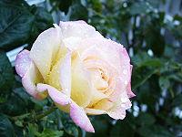Rose Peace.jpg