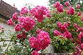 Roses (2693873542).jpg