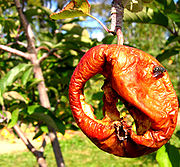 An apple rotting on the stem