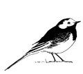 Rouwkwikstaart Motacilla alba yarrellii Jos Zwarts 1.tif