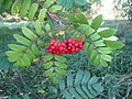 Rowan-berries (Sorbus aucuparia), Sweden, 20150828d.jpg