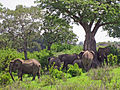Ruaha elephants.jpg