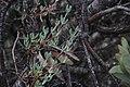 Ruschiella argentea.jpg