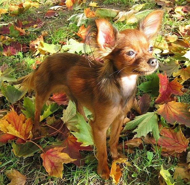 Beautiful Russkiy Toy dog