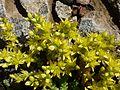 SEDUM ACRE - BIOSCA - IB-492 (Crespinell groc).JPG