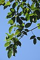 SZ 深圳 Shenzhen 鹽田區 Yantian District 深鹽路 Shenyan Road Greenway tree 樟樹 Cinnamomum camphora leaves Sept 2017 IX1 (2).jpg