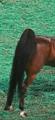 Saddlebred tail.png