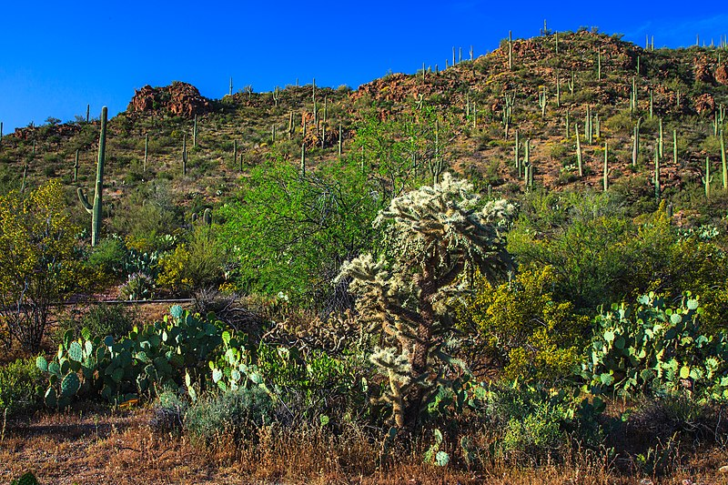 File:Saguaro Nat. Park near Tuscon, Ariz (15987266557).jpg