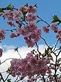 Saint Petersburg. Chinese Garden. Sakura tree2016 02.jpg