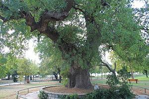 Pistacia lentiscus - An old Pistacia Lentiscus tree in Fenerbahçe Park, İstanbul