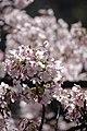 Sakura 2018 3 (250561751).jpeg