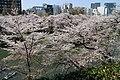 Sakura in Chidorigafuchi 20190406-4.jpg