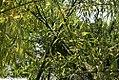 Salix babylonica 2zz.jpg