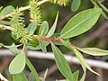 Salix eriocephala var. watsonii (4017950457).jpg