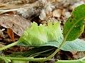 Salix lasiolepis gall Iteomyia sp..jpg