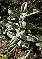 Salix myrtilloides kz08.jpg