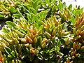 Salix retusa2.JPG