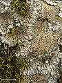 Salted Shell Lichen (4503066250).jpg