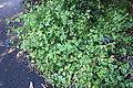 Salvia cacaliifolia - San Francisco Botanical Garden - DSC00006.JPG