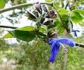 Salvia mexicana.jpg
