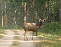 Sambar Deer male. Cervus unicolor.jpg